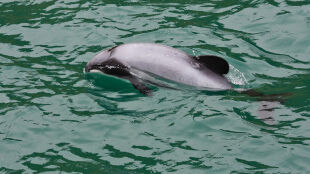 Na świecie zostało ich dokładnie 55. Giną najrzadsze delfiny świata