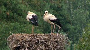 Wyginęło nawet 80 proc. młodych bocianów. Osłabione populacje zasilą ptaki z Podlasia?