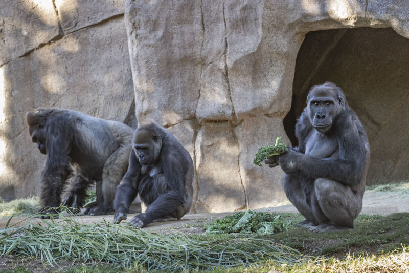 Goryle w ogrodzie zoologicznym w San Diego (San Diego Zoo/Christina Simmons)