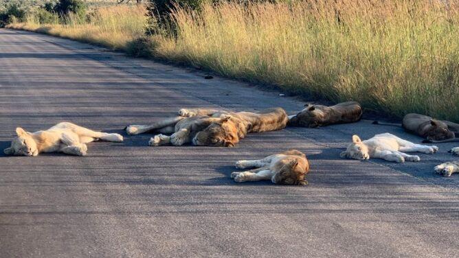 Lwy usnęły na drodze. Koronawirus przywrócił im panowanie w Parku Narodowym Krugera